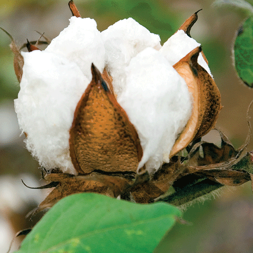 Cotton| Crop Pricing | Discovery Period