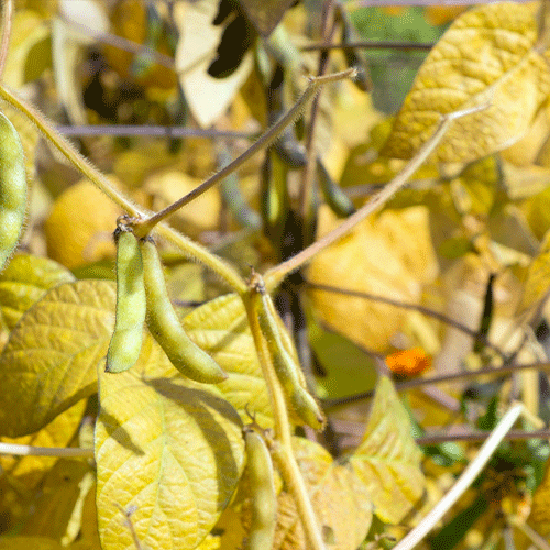Soybeans Crop Price Discovery | Fowler Agency, LLC