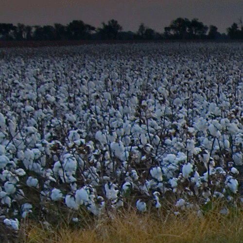 Cotton Policies and Procedures