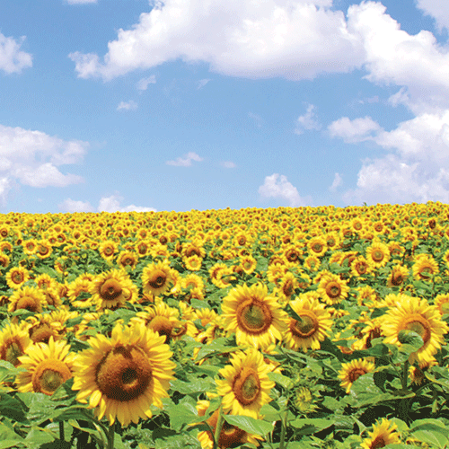 Sunflowers Policies and Procedures