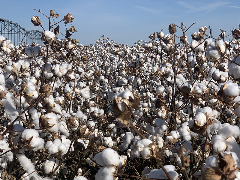 Stacked Income Protection | Crop Insurance | Cotton