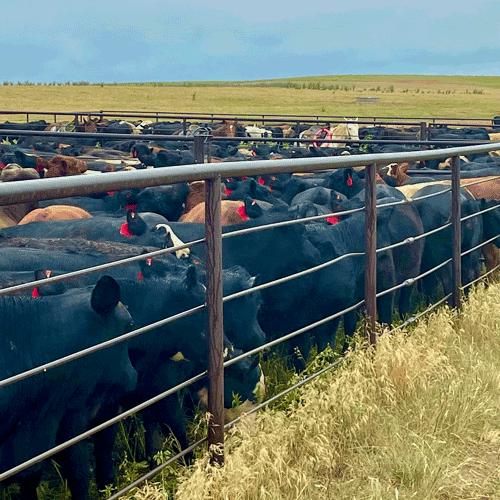 Livestock Risk Protection   Crop Insurance